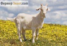 Коза молочной породы