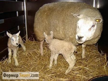 Овца с приплодом