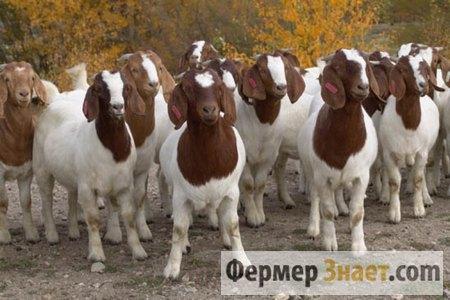 Бурские козы