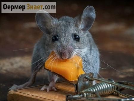 Крыса возле мышеловки