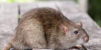 Крыса возле курятника