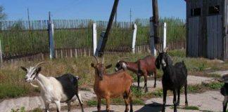 Электропастух для коз