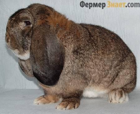Кролик породы баран