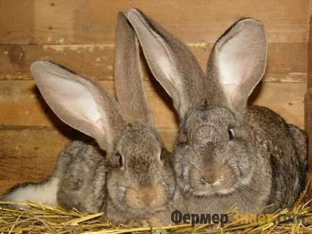 Три кролика породы Фландр
