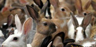 Разнообразие пород кроликов