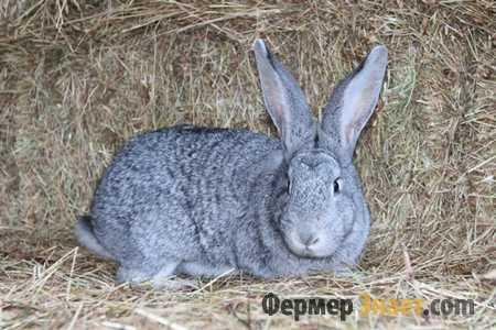 Шиншилловый кроль на сене