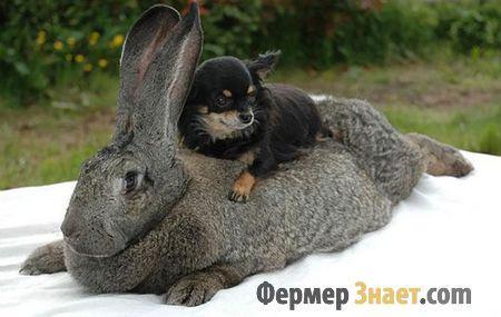 Кролик великан