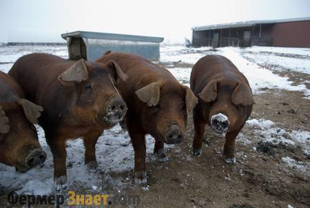 Свиньи породы дюрок