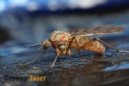 Комары могут быть переносчиками миксоматоза