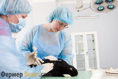 Прививка кролика от вирусной геморрагической болезни