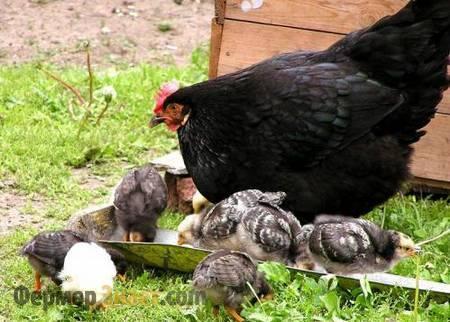 Московская черная курица с цыплятами