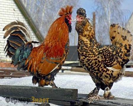 Петух и курица Павловской породы