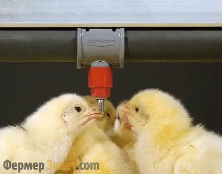 Цыплята пьют из ниппельной поилки
