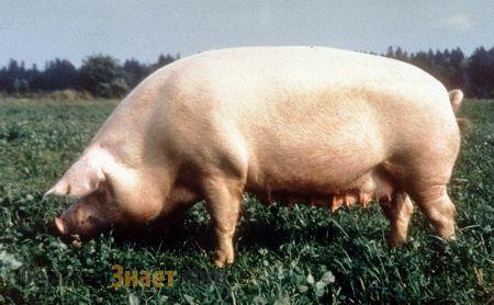 Брейтовская свинья