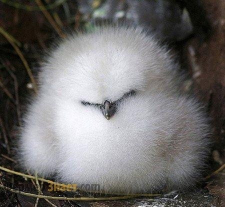 Цыплята китайской шелковой курицы