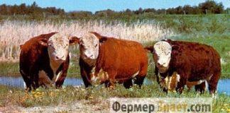 Быки мясной породы