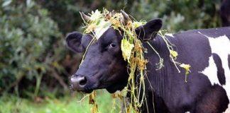 Корова-кормилица
