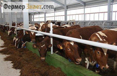 Содержание коров в коровнике