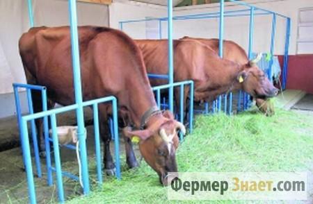 Коровы на привязном содержании