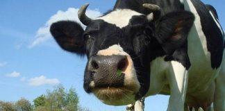 корова на пасибище