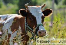 Айрширская молочная корова