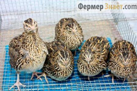Взрослые птицы