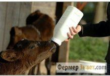 Кормление теленка ЗЦМ