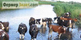 Коровы на водопое