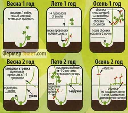 Обрезка и формирование винограда