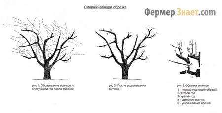 Омолаживание дерева