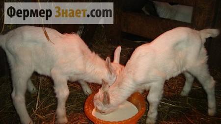 Кормление козлят молоком