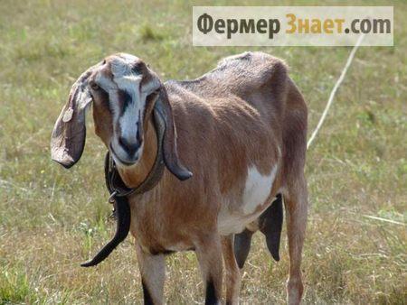 Коза нубийской породы