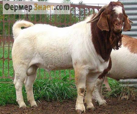 Бурские козы: важные моменты содержания и разведения