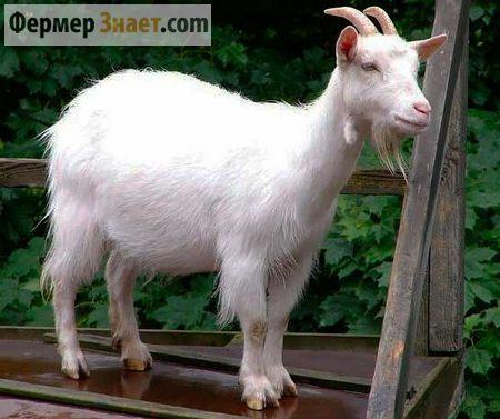 Коза русская белая