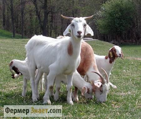 Козы с козлятами на пастбище