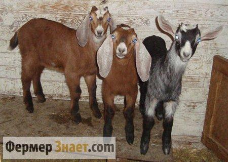 Нубийские козлята