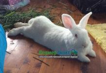 белый новозеландский кролик и его разведение